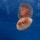 Medusa flotando fotografiada inmersión El Gat